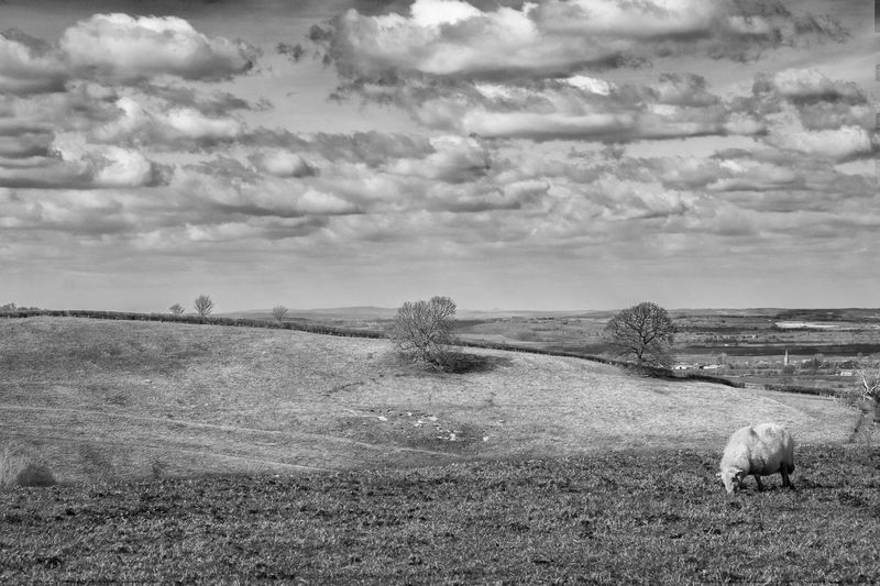 Agriculture B&w Black & White Blackandwhite Cloud Cloud - Sky Cloudy Cotswolds Domestic Animals Farm Field Grass Horizon Over Land Landscape Livestock Nature Overcast Rural Scene Scenics Sheep Sky Tranquil Scene Tranquility