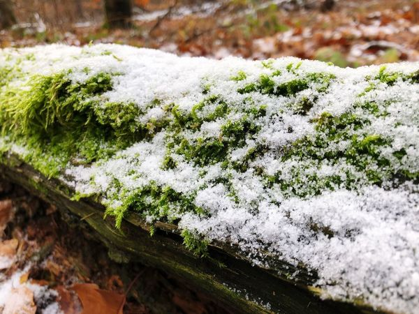 Moss No People Close-up Plant Day Snow Nature Beauty In Nature Green Color Covering Cold Temperature Winter High Angle View Growth Selective Focus Frozen Outdoors Focus On Foreground Lichen