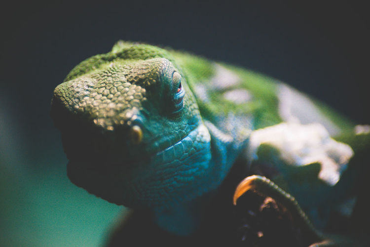 Close-up portrait of chameleon