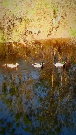 2Males1Female💞💞💞 BabyDuckling💕 MallardDuck's💗💗 Reflections Reflected In The Glassy Stillness Of The Water Eyeemnaturelover EyeEmBestShot's Canals And Waterways Beauty In Nature Outdoors Reflection_collection Duck_Photography Serene Outdoors I💞💞💞Duck's Fulllength Springtime Animals In The Wild 2Male's&1Female&1BabyDuckling Grass Sunlight Reflections In The Water