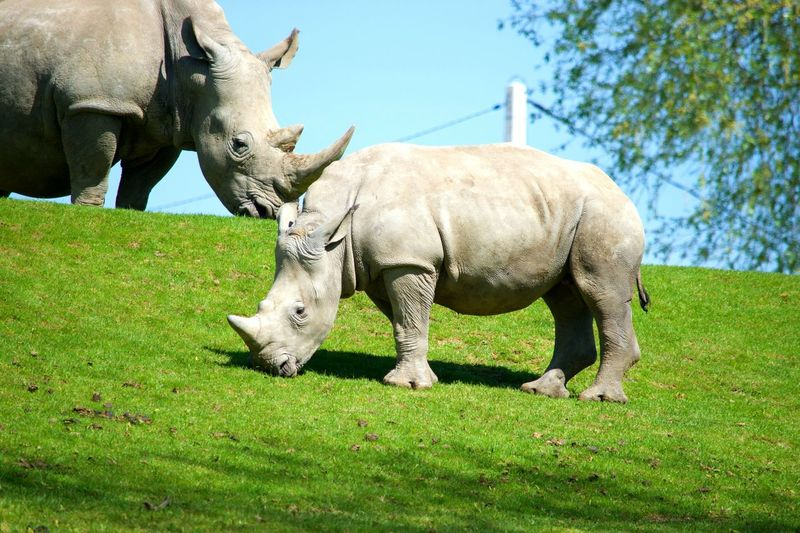 Animal Wildlife Animal Themes Animal Animals In The Wild No People Beauval Zoo Zoophotography Zoo De Beauval Rhinoceros Rinoceros à Beauval