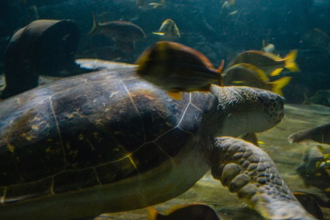 Animal Themes Animals In The Wild Water Swimming Turtle Sea Life Reptile Aquarium No People Sea Turtle One Animal Nature Underwater UnderSea Close-up