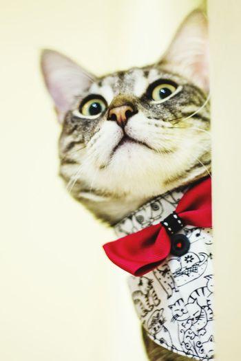 Gatito Benji ❤ Cats Pets Michi Corbata De Gato Corbata