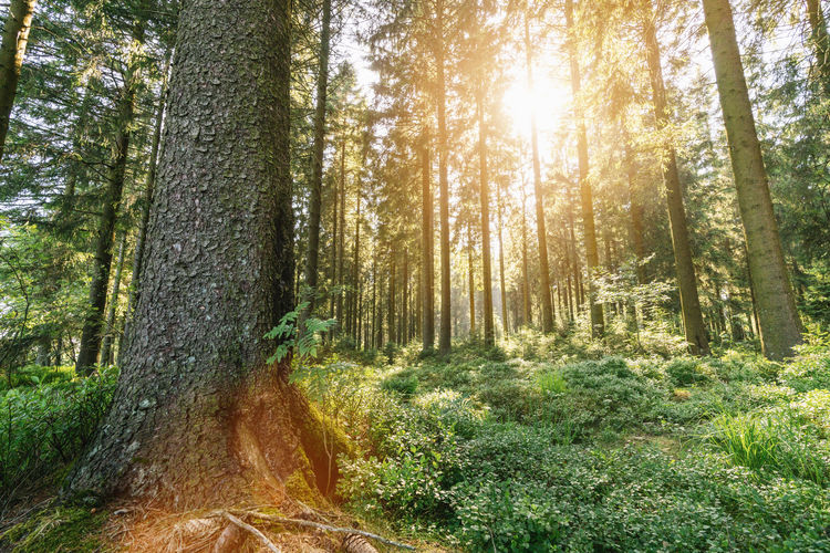 Sunlight shines in to the deep forest Sunlight Tree Beauty In Nature Day Deep Woods Environment Forest Growth Land Moos Nature No People Outdoors Pine Woodland Plant Scenics - Nature Sun Flare Sunbeam Sunlight Tranquil Scene Tranquility Tree Tree Trunk Trunk WoodLand
