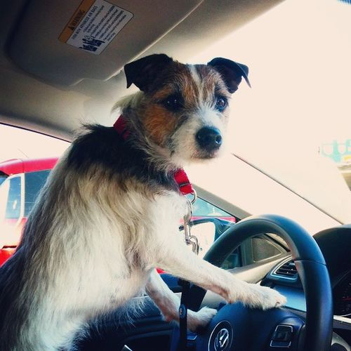 This nigga just cut me off!👿Driving Dogdriving Angydog Jackrussell Jrt Parsonrussellterrier Brah