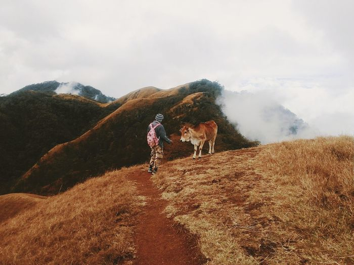 Rear view full length of hiker standing by cow on mountain