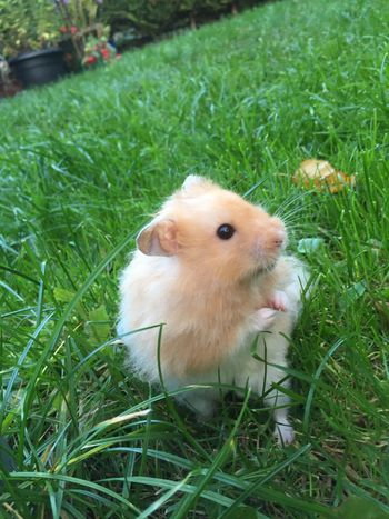 Animal Animal Themes Close-up Cute Hamster Lawn One Animal Pets Syrian Hamster