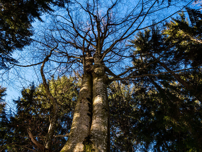 Tree Plant Low Angle View Sky Growth Nature No People Tree Trunk Branch Day Trunk Forest Tranquility Land Outdoors Beauty In Nature Tall - High Blue Clear Sky WoodLand Tree Canopy  Directly Below Coniferous Tree Pine Woodland