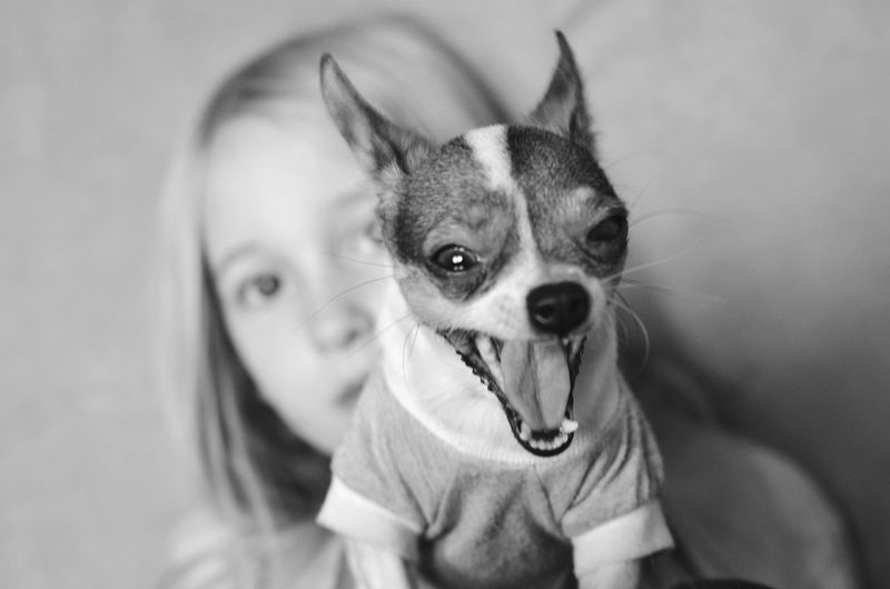 Portrait of girl with chihuahua dog yawing at home