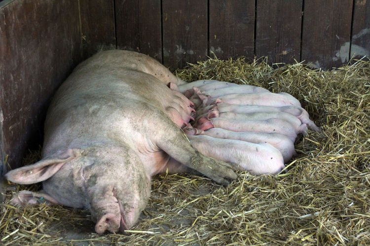 pig with al lot piglet Animal Themes Close-up Day Domestic Animals Ferkel Lying Down Mammal Nature No People One Animal Outdoors Pig Piglet Relaxation Schwein Sleeping Stall Stroh