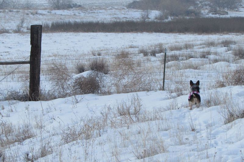 High angle view of pembroke welsh corgi on snow covered field