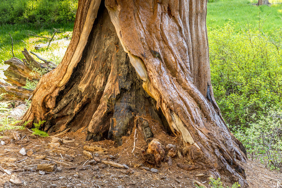 California National Park Sequoia Sequoia National Park Tree USA Bark Beauty In Nature Branch Day Environment Field Forest Grass Growth Land Nature No People Outdoors Plant Root Textured  Tranquility Tree Tree Trunk Trunk Wood - Material