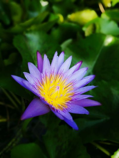 Flower Flowers,Plants & Garden Flower Photography Lotus Flower Lotus Water Lily Nature Photography Plant Colour Of Life