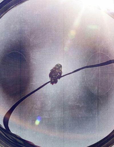 The OO Mission barn owl WaitingforLunch
