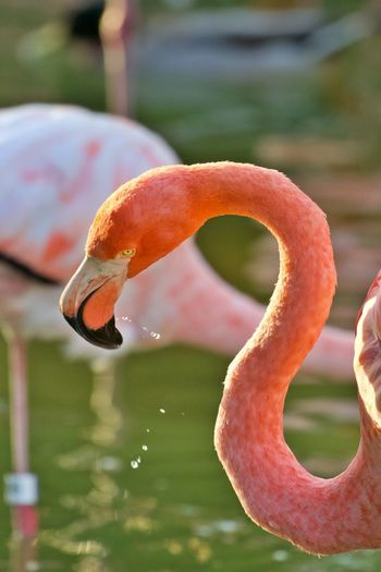 Water Focus On Foreground Flamingo Close-up Animals In The Wild Animal Wildlife Animal Lake One Animal Nature Orange Color Outdoors Bird Animal Neck Animal Body Part No People Animal Themes