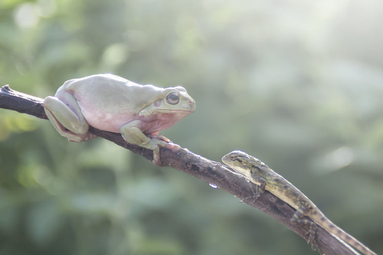 tree frogs and lizards Animal Animal Themes One Animal Animal Wildlife Vertebrate Animals In The Wild Close-up Focus On Foreground No People Branch Tree Day Plant Nature Reptile Outdoors Lizard Green Color Frog Perching Animal Eye