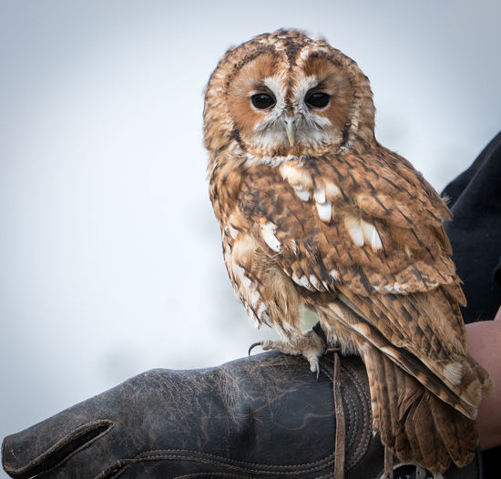 Tawny owl sitting on falconer's arm Strix Aluco Animal Wildlife Bird Bird Of Prey Brown Close-up Day Focus On Foreground Looking At Camera Nature No People One Animal Outdoors Owl Perching Portrait Vertebrate