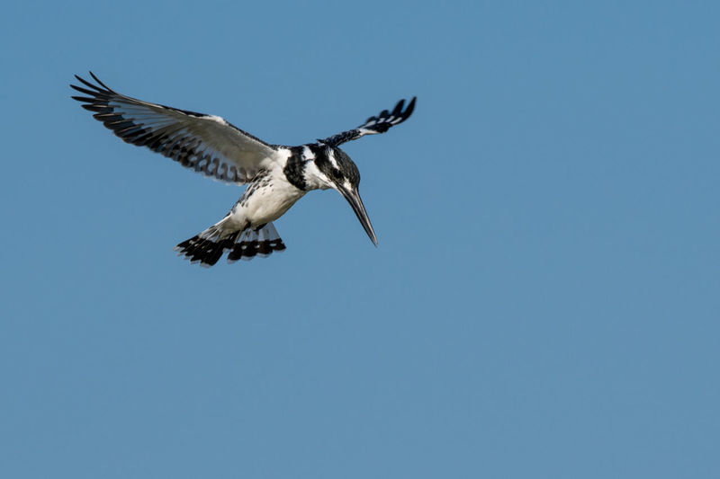 Pied Kingfisher hovering EyeEm Birds Kingfisher Pied Kingfisher Animal Animal Themes Animal Wildlife Animals In The Wild Bird Bird Of Prey Blue Clear Sky Copy Space Day Flying Low Angle View Mid-air Motion Nature No People One Animal Outdoors Sky Spread Wings Vertebrate