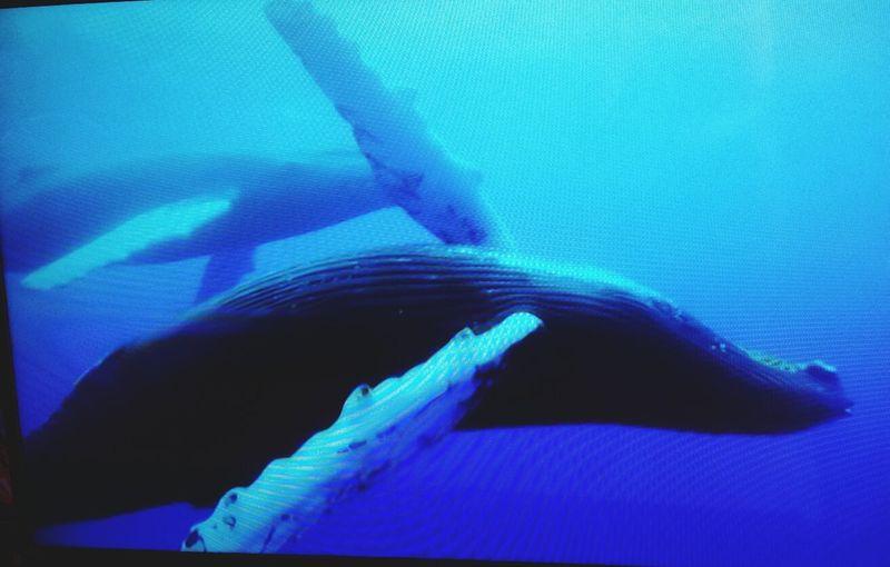Ballenas Jorobadas Love Whales Atlantic Ocean ....