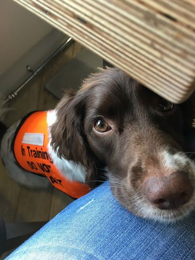 One Animal Pets Mammal Domestic Animals Animal Themes Dog No People Indoors  Portrait Close-up Day In Training Assistance Dog