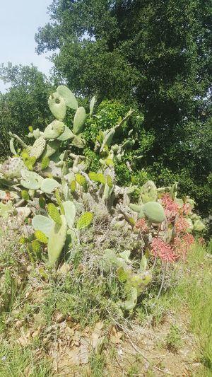 Cactusplant Cactus Cactusflower Flora Californiaplants