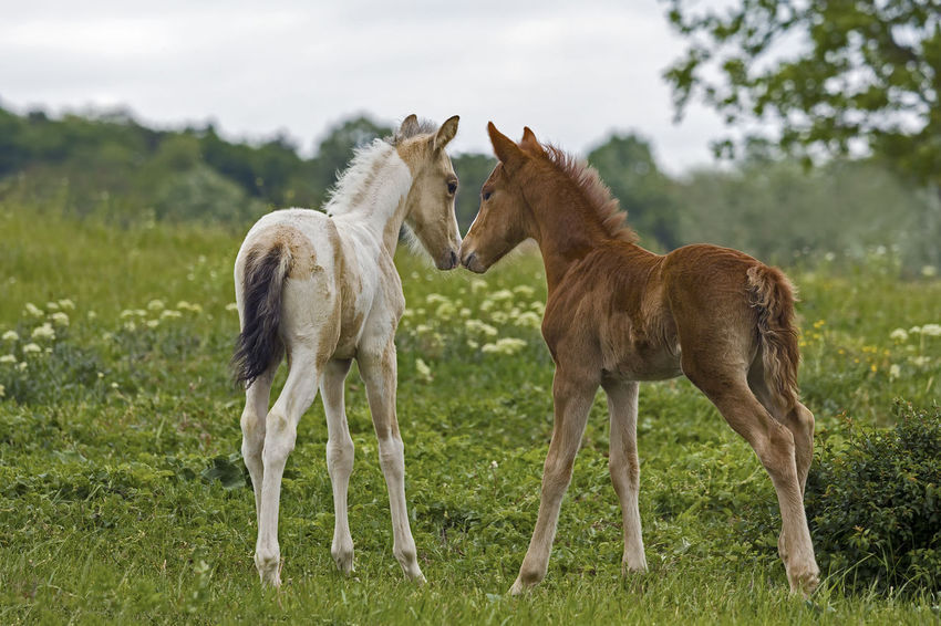Foal In Field Green Animal Themes Day Domestic Animals Field Foal Foals Grass Grazing Horse Livestock Mammal Nature No People Outdoors Sky Standing Togetherness Two Animals
