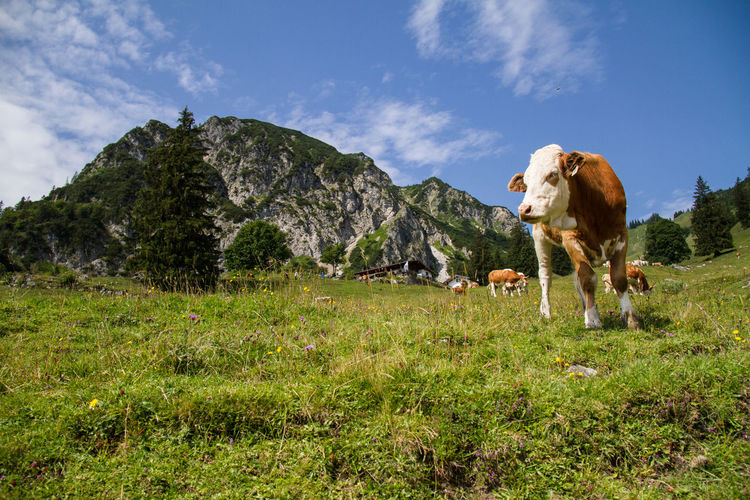 Portrait of a cow in the meadow of the Chiemgau, Bavarian view, mountains and Bergidylle Chiemgauer Bergwelt Fleckvieh Hiking Wuhrsteinalm alps animal animal themes brown cattle chiemgau day domestic domestic animals germany Grass herbivorous Land Livestock mammal mountains mountains and sky Nature no people outdoors pets Plant portrait of a friend Bavaria Bergidylle Chiemgauer Bergwelt Fleckvieh Hiking Wuhrsteinalm Alps Animal Animal Themes Brown Cattle Chiemgau Day Domestic Domestic Animals Germany Grass Land Livestock Mammal Mountains Mountains And Sky Nature No People Outdoors Pets Plant Sunshine Two Colours Vertebrate White