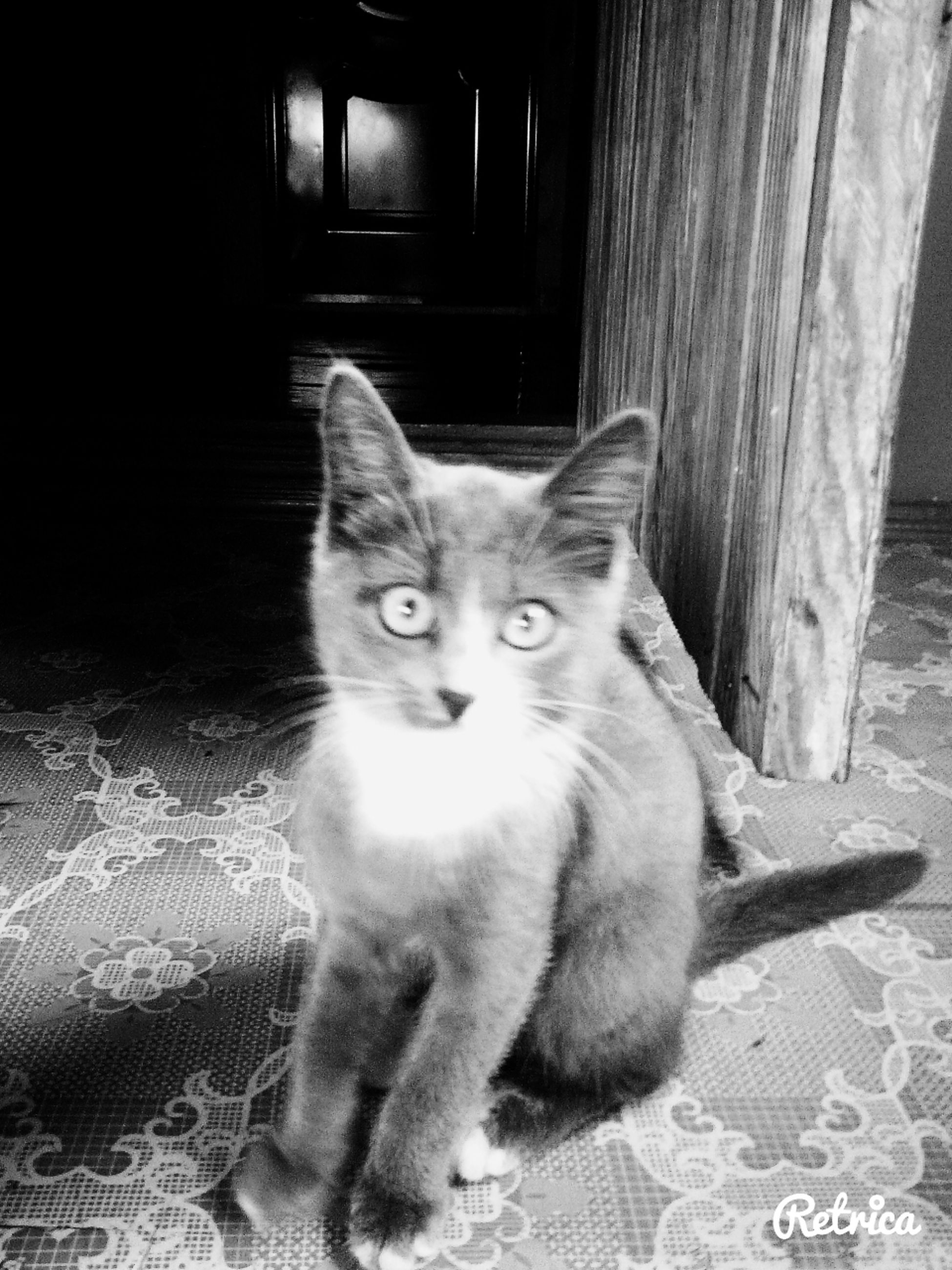 pets, domestic cat, domestic animals, animal themes, mammal, one animal, cat, feline, portrait, looking at camera, whisker, indoors, sitting, alertness, staring, relaxation, home interior, no people, zoology