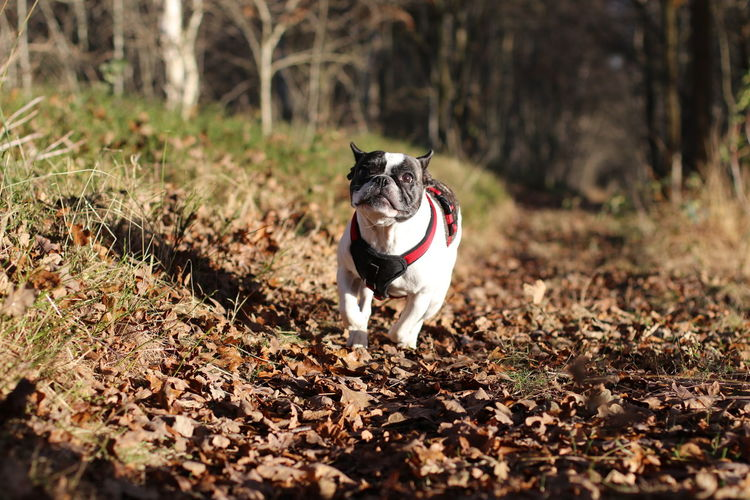 Autumn Bulldog Bulldog Francese Bulldogfrances Bully Dog In Action Dog In Natural Environment Dog In Nature Dog Portrait Dogs Of EyeEm Französische Bulldogge  French Bulldog Frenchbulldog Frenchie Hund Hund In Aktion Im Moor In The Forest In The Woods Laufender Hund Outdoors Running Dog Taking The Dog For A Walk Winter Winter Sun
