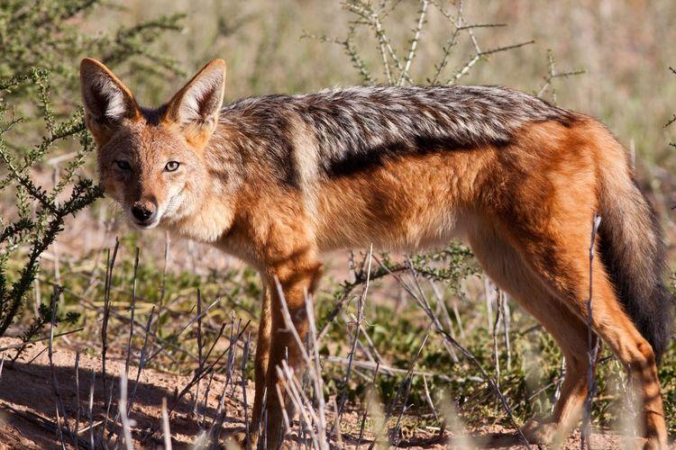 Portrait of black-backed jackal standing on field