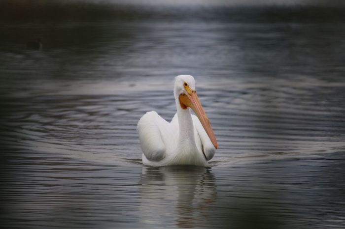 Pelican Bird White Color Nature Animal Themes Beauty In Nature Water No People Animals In The Wild Lake Close-up Pelican Beauty In Nature Walking Around City Life Water Bird
