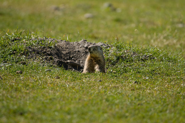 Animal Themes Animal Wildlife Animals In The Wild Day Field Grass Green Color Mammal Marmot Marmotte Mountain Animal Nature No People One Animal Outdoors