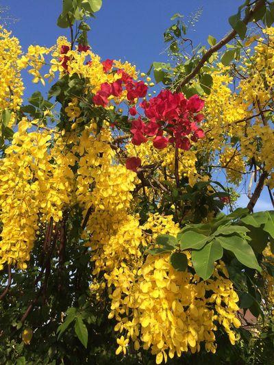 ดอกคูณ Thailand Flower Plant Growth Beauty In Nature Yellow Flower Flowering Plant Tree Nature Freshness Vulnerability  Low Angle View Sky Day Tranquility Plant Part Leaf Outdoors