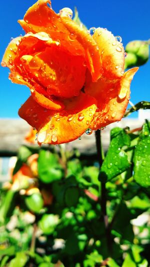Focus On Foreground Flower Nature Orange Color Plant Close-up Leaf Flower Head Beauty In Nature Yellow Growth No People Outdoors Fragility Freshness Day Water Roses, Flowers, Nature, Garden, Bouquet, Love, RainDrop Tranquil Scene Eyeem Market Freshness Growth Rain Idyllic