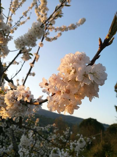 Springtime Spring Flowers Flowers Beauty In Nature Sky Dawn Light Morning Morning Light Morning Sky White Petals Fiori Primavera Fioritura Blooming Beautiful Nature Tree Albero Natura Floreale Tenue Delicato Soft
