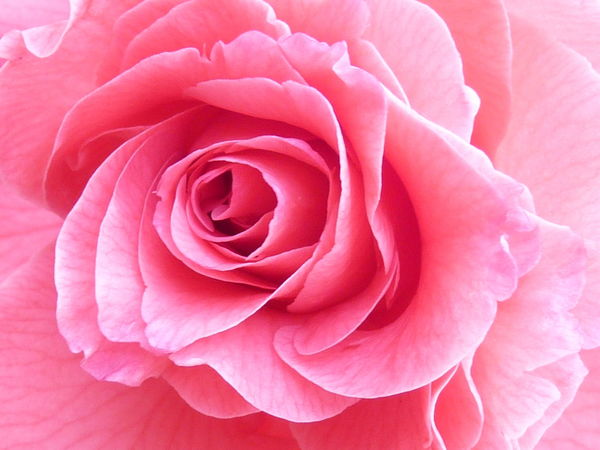 Camellia Camellia Beauty In Nature Camellia Flower Camellia Flowers Close-up Flower Flower Head Flowering Plant Fragility Freshness Full Frame Growth Inflorescence Macro Nature No People Outdoors Petal Pink Color Plant Rosé Rose - Flower Soft Focus Softness Springtime Vulnerability