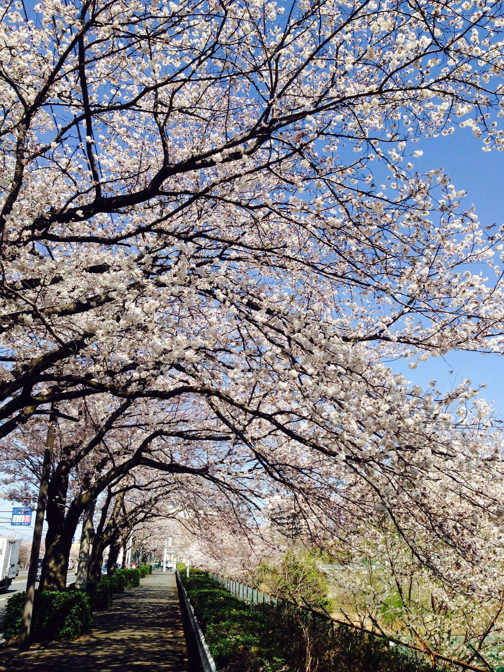 tree, branch, bare tree, growth, sky, low angle view, flower, nature, built structure, sunlight, day, beauty in nature, the way forward, architecture, tranquility, clear sky, outdoors, no people, blossom, cherry blossom