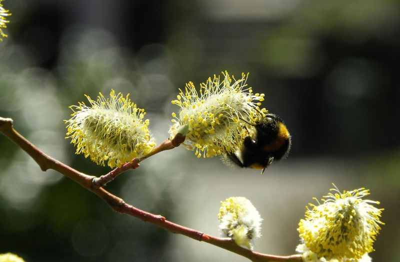 Bamblebee On A Plant Trees And Nature spring into spring Nature Awakening Tree Flower Plant Willow Tree In Bloom