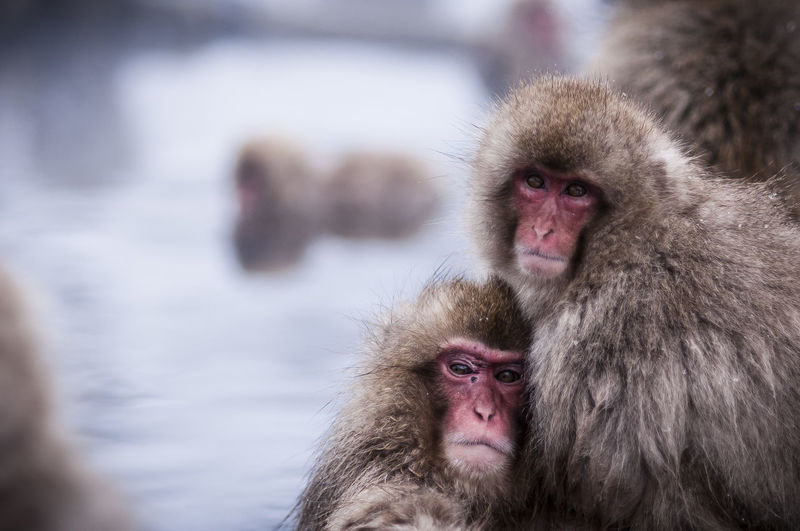 Portrait Of Japanese Macaques In Hot Spring