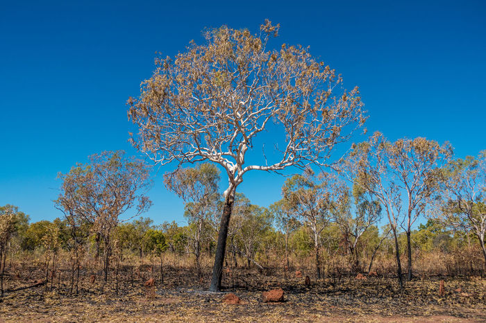 Fire damaged gumtree recovering in the outback Bush Fire Fire Damage Gum Tree Nature No People Outdoors Tree Tree Trunk