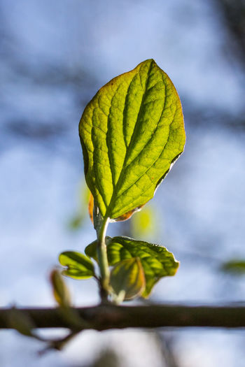leaf standing on a branch in springtime Growing Growth New Life Standing Beauty In Nature Blue Sky Branch Close Up Close-up Closeup Detail Flower Focus On Foreground Fragility Fresh Freshness Green Color Growth Leaf Nature No People Outdoors Plant Spring Springtime