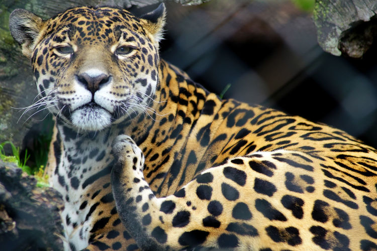 Animal JAGUAR