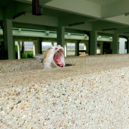 Yawning Cat Yawn Cat Sleepy Bye World Bye Zzz Nature Animal Pet