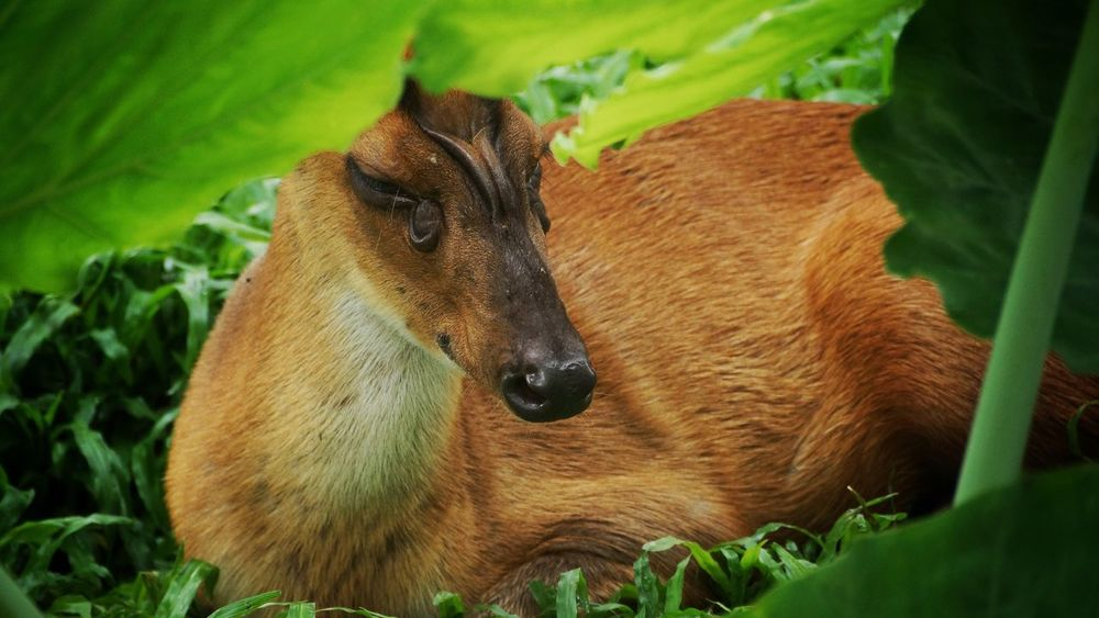 Mammal Animal Themes One Animal Green Color Animals In The Wild Animal Wildlife Day Nature No People Close-up Outdoors Grass Deer Barking Deer Live For The Story