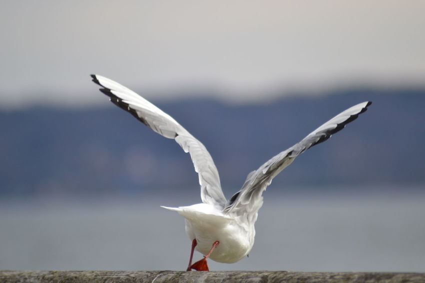 Nikon Animal Themes Animal Wildlife Animals In The Wild Beauty In Nature Bird Close-up Day Flying Focus On Foreground Lake Motion Nature No People One Animal Outdoors Sea Bird Seagull Sky Spread Wings Swan Water White Color