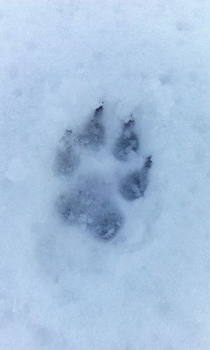 Paw Paw Prints FootPrint Footprints In The Snow Montains    Snow Dogwalk White Album Nature Art EyeEm Best Shots - Nature Lotus Temple Getting Creative Taking Pictures Snowmininals Walking Around No People Getting Inspired Eye4photograghy People Watching Going The Distance Popular Photos The Adventure Handbook From My Point Of View Collected Community Open Edit