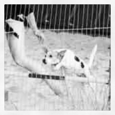 Jrt Jackrussellsofinstagram Jackrusselle Agility jumping jumps blackandwhite high poles amazing dogsofinstagram dogs partners superstar Bailey suragant_son 4leggedchild fourlegs paws love mybaby myworld myeverything