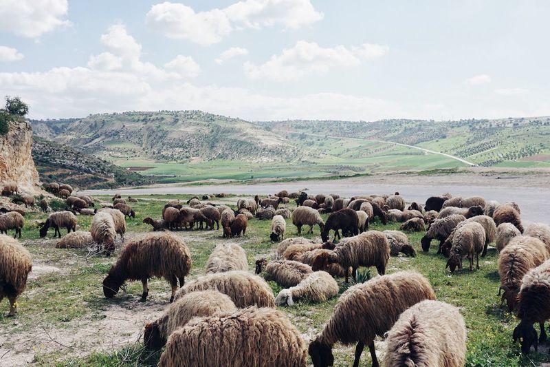 Flock of sheep on landscape against sky