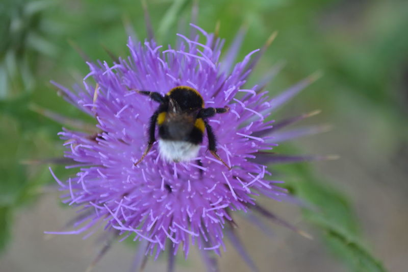 Animal Themes Animal Wildlife Animals In The Wild Beauty In Nature Bee Blooming Bumblebee Close-up Day Flower Flower Head Fragility Freshness Growth Insect Nature No People One Animal Outdoors Petal Plant Pollination Purple Symbiotic Relationship Thistle