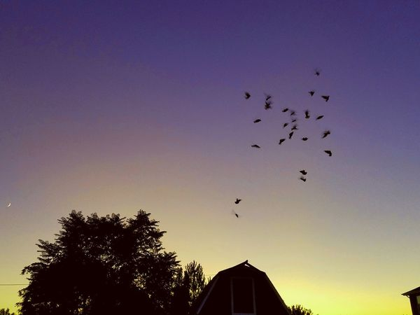 Flying Bird Flock Of Birds Animal Wildlife Sunset Sky Outdoors Spread Wings Nature Barn Birds Sunset Trees Countrylife Sunset Clouds And Sky Trees Tranquility Reflection Horizon